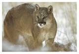 Mountain Lion portrait in winter  Montana