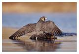 Peregrine Falcon standing over prey  North America