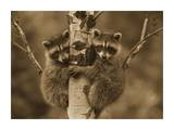 Raccoon two babies climbing tree  North America - Sepia