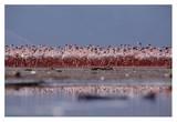 Lesser Flamingo flock parading in a mass courtship dance  Lake Bogoria  Kenya