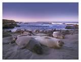 Northern Elephant Seal juveniles laying on the beach  Point Piedras Blancas  Big Sur  California