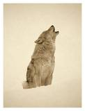 Timber Wolf portrait  howling in snow  North America - Sepia