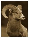 Bighorn Sheep male portrait  Banff National Park  Alberta  Canada - Sepia