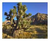Joshua Tree with the Virgin Mountains  Arizona