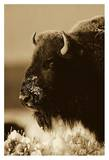 American Bison portrait in snow  North America - Sepia