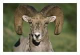 Bighorn Sheep close-up  North America
