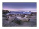 Northern Elephant Seal juveniles laying on the beach, Point Piedras Blancas, Big Sur, California Reproduction d'art par Tim Fitzharris