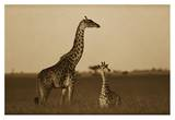 Giraffe adult and foal on savanna  Kenya - Sepia