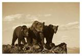 Grizzly Bear with two one-year-old cubs  North America - Sepia
