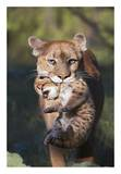 Mountain Lion mother carrying cub in her mouth  North America