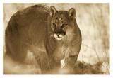 Mountain Lion portrait in winter  Montana - Sepia
