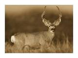 Mule Deer male in dry grass  North America - Sepia