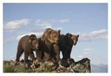 Grizzly Bear with two one-year-old cubs  North America