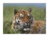 Siberian Tiger portrait  endangered  native to Siberia