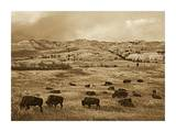 American Bison herd grazing on praire  Theodore Roosevelt NP  North Dakota - Sepia