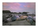 Northern Elephant Seals, Point Piedra Blancas, California Reproduction d'art par Tim Fitzharris