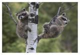 Raccoon two babies in tree  North America