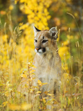 Cougar (Felis Concolor) Juvenile A Solitary and Strongly Territorial Hunting Species that Requires