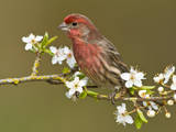 Male House Finch (Carpodacus Mexicanus) on Plum Blossoms at Victoria  Vancouver Island  British Col