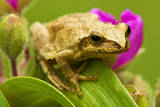 Spring Peeper (Hyla Crucifer) Sitting on Garden Spiderwort Flower  Lively  Ontario  Canada