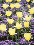 Yellow Tulips between Purple Pansys