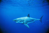Great White Shark and Small School of Mackerel Scad