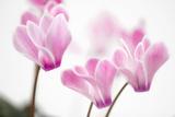 Cyclamen 'Alpine Violet'
