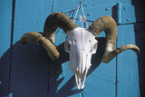 Ram Skull for Sale