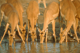 Several Impalas Drinking at a Watering Place (Botswana)
