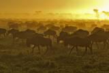 Herd of Wildebeest at Sunrise