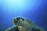 Green Turtle  Vanuatu