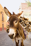 Donkey with Load of Firewood