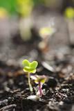 Seedlings Emerging in Spring