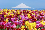 MtHood over Tulips Field  Wooden Shoe Tulip Farm  Woodburn Oregon Have Property Release