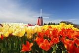 Tulips Field  Wooden Shoe Tulip Farm  Woodburn Oregon Have Property Release
