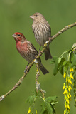 Male and Female House Finches (Carpodacus Mexicanus) on Plum Blossoms at Victoria  Vancouver Island
