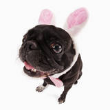 Black Pug Dressed with Bunny Ears and Bow Tie