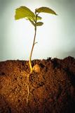 Hazel Tree Seedling and Exposed Root