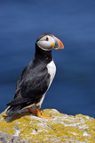 Atlantic Puffins  Fratercula Artica  Nesting on Bird Island Just off Shore from Cape Bonavista Ligh