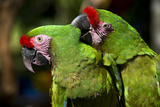 Military Macaws Preening One Another