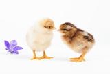 Day-Old Chicks