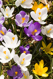 White Crocus Giant Mixed Assorted Colours Crocus Vernus  Montreal  Quebec  Canada