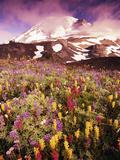 Wildflowers Growing at Foot of Mount Rainier