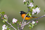 Baltimore Oriole (Icterus Galbula)  during Spring Migration  Rondeau Provincial Park  Ontario  Cana