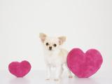 Chihuahua with Heart-Shaped Cushions