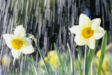 Rain falling on Daffodils