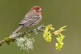 House Finch (Carpodacus Mexicanus) on Budding Apple Tree Branch  Victoria  Vancouver Island  Britis