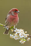 House Finch (Carpodacus Mexicanus) on Flowering Plum Tree Branch  Victoria  Vancouver Island  Briti
