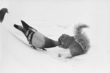 Pigeon Taking Nut from Squirrel on Snowy Day