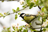 Great Tit Sitting on Springtime Branch